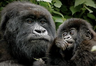 mountain gorillas rwanda safari