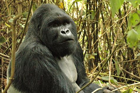 Congo gorilla tour