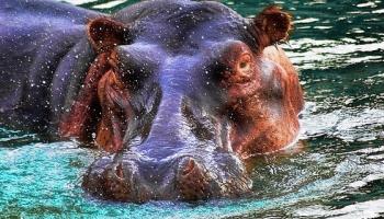 hippos queen Elizabeth np
