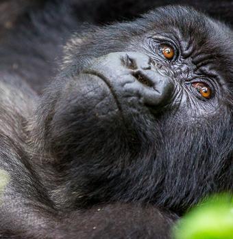 1 Day Uganda gorilla trekking from Kigali