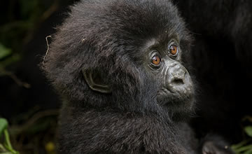 baby gorilla in volcanoes rwanda