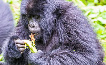 3 Day Bwindi Gorilla Trek